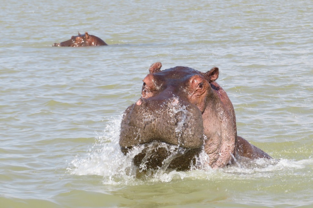 Hippos guarding the start of the Blue Nile where it drains Lake Tana in Ethiopia