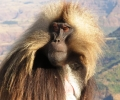 2017 Mar: The Great Monkey Cascade, Geladas in the Simiens