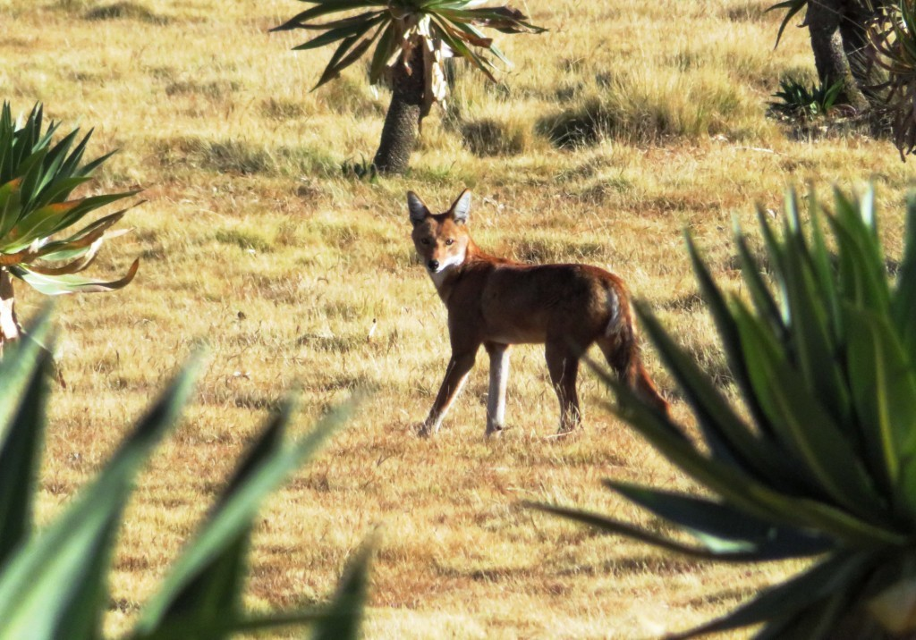 Ethiopian Wolf - More Wile E Coyote than White Fang